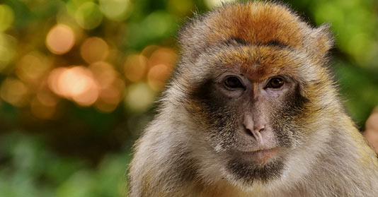 Endangered Barbary Ape